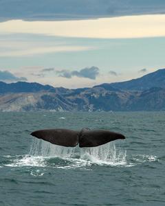 sperm whale in kaikoura