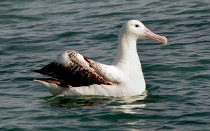 Wandering Albatross at Kaikoura